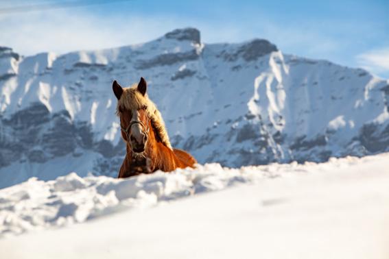 Cheval devant les aiguilles Croches à Megève